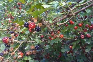 Blackberries and hawthornes, Grange Lane