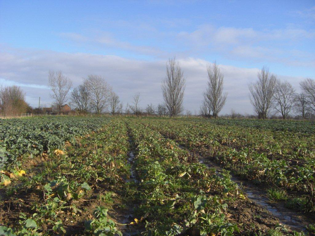 Field of swede