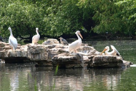 Pelicans at St James