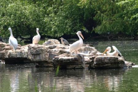 Pelicans at St James