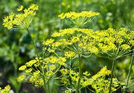 Dill branches with flowers