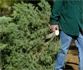 christmas-tree-recycling-4